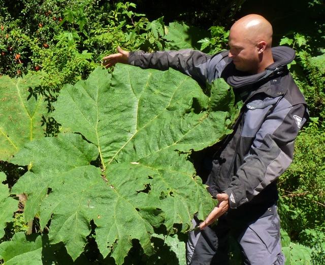 Nalca Plant Patagonia Trip