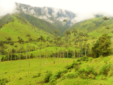 Wax Palm, Cocora Valley, Colombia