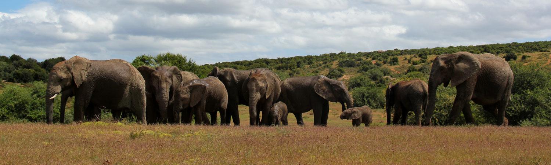 addo elephants south africa