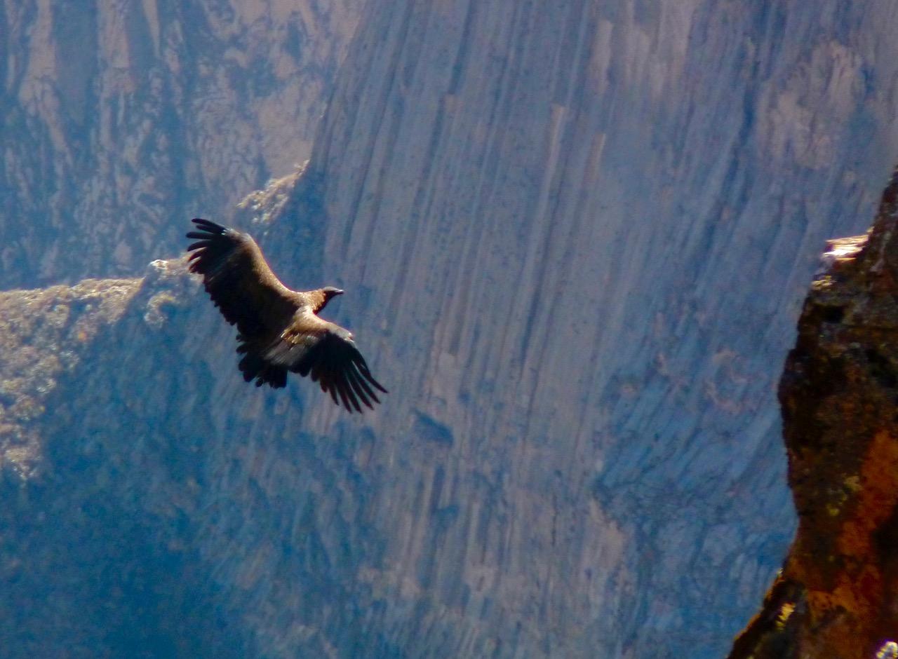 Andean Condor Flying in Colca Canyon