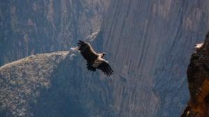 Andean Condor in Colca Canyon