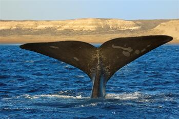 whale tail puerto madryn patagonia
